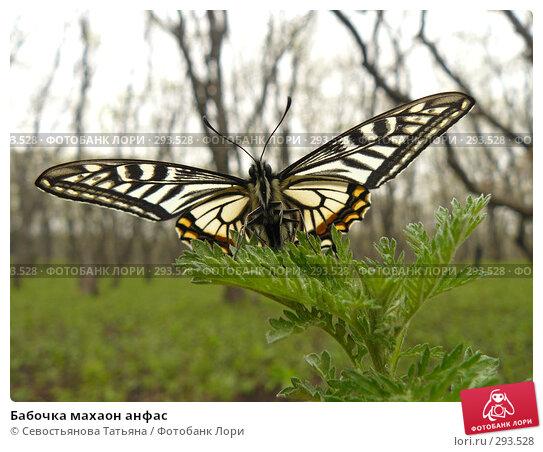 Купить «Бабочка махаон анфас», фото № 293528, снято 1 мая 2008 г. (c) Севостьянова Татьяна / Фотобанк Лори