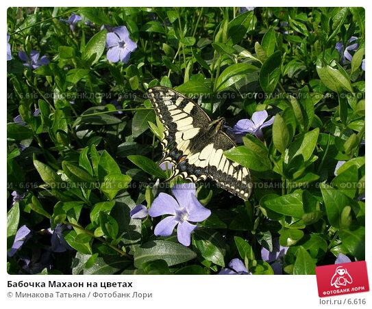 Бабочка Махаон на цветах, фото № 6616, снято 14 мая 2006 г. (c) Минакова Татьяна / Фотобанк Лори