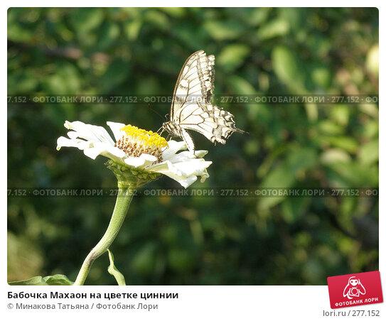 Бабочка Махаон на цветке циннии, фото № 277152, снято 18 августа 2007 г. (c) Минакова Татьяна / Фотобанк Лори