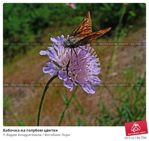 Бабочка на голубом цветке, фото № 66796, снято 27 мая 2017 г. (c) Вадим Кондратенков / Фотобанк Лори