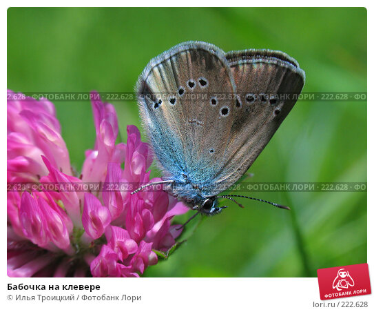 Бабочка на клевере, фото № 222628, снято 29 мая 2006 г. (c) Илья Троицкий / Фотобанк Лори
