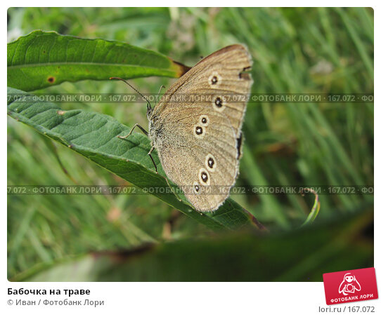 Купить «Бабочка на траве», фото № 167072, снято 18 июля 2007 г. (c) Иван / Фотобанк Лори