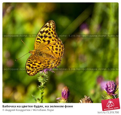 Бабочка на цветке будяк, на зеленом фоне. Стоковое фото, фотограф Андрей Кондратюк / Фотобанк Лори
