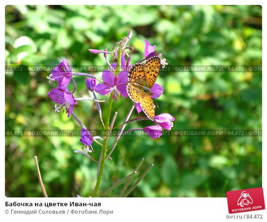 Купить «Бабочка на цветке Иван-чая», фото № 84472, снято 7 июля 2007 г. (c) Геннадий Соловьев / Фотобанк Лори