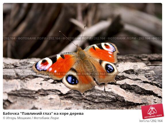 "Бабочка ""Павлиний глаз"" на коре дерева, фото № 292164, снято 30 марта 2017 г. (c) Игорь Мошкин / Фотобанк Лори"