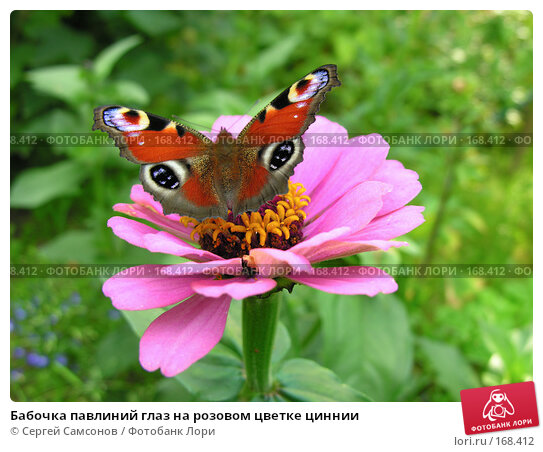 Бабочка павлиний глаз на розовом цветке циннии, фото № 168412, снято 19 августа 2006 г. (c) Сергей Самсонов / Фотобанк Лори