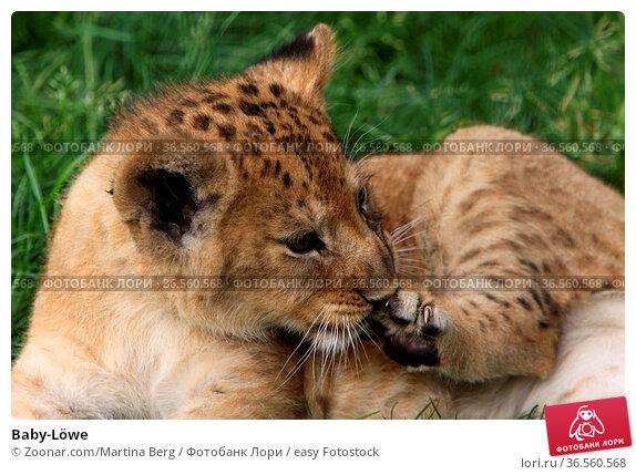 Baby-Löwe. Стоковое фото, фотограф Zoonar.com/Martina Berg / easy Fotostock / Фотобанк Лори