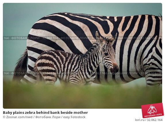 Baby plains zebra behind bank beside mother. Стоковое фото, фотограф Zoonar.com/nwd / easy Fotostock / Фотобанк Лори