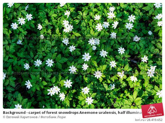 Купить «Background - carpet of forest snowdrops Anemone uralensis, half illuminated by the sun, half in the shade», фото № 28419652, снято 12 мая 2018 г. (c) Евгений Харитонов / Фотобанк Лори