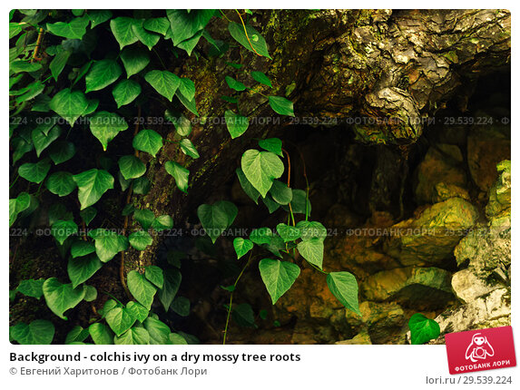 Купить «Background - colchis ivy on a dry mossy tree roots», фото № 29539224, снято 26 сентября 2017 г. (c) Евгений Харитонов / Фотобанк Лори