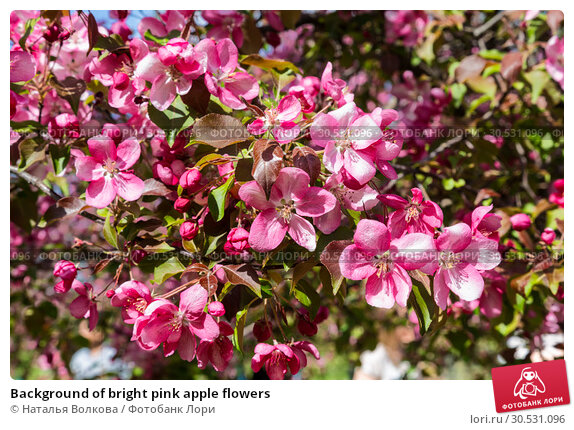 Купить «Background of bright pink apple flowers», фото № 30531096, снято 12 мая 2018 г. (c) Наталья Волкова / Фотобанк Лори