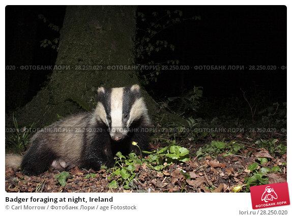 Купить «Badger foraging at night, Ireland», фото № 28250020, снято 11 апреля 2017 г. (c) age Fotostock / Фотобанк Лори