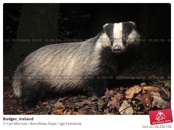 Купить «Badger, Ireland», фото № 28250136, снято 31 октября 2017 г. (c) age Fotostock / Фотобанк Лори