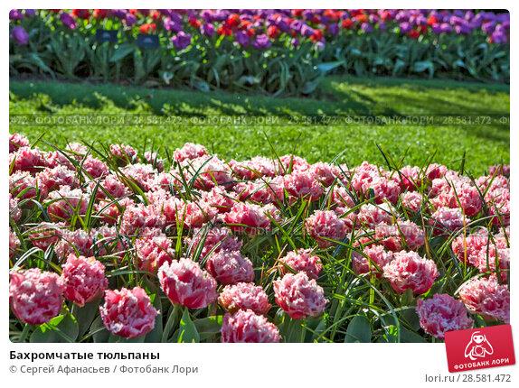 Купить «Бахромчатые тюльпаны», фото № 28581472, снято 4 мая 2018 г. (c) Сергей Афанасьев / Фотобанк Лори