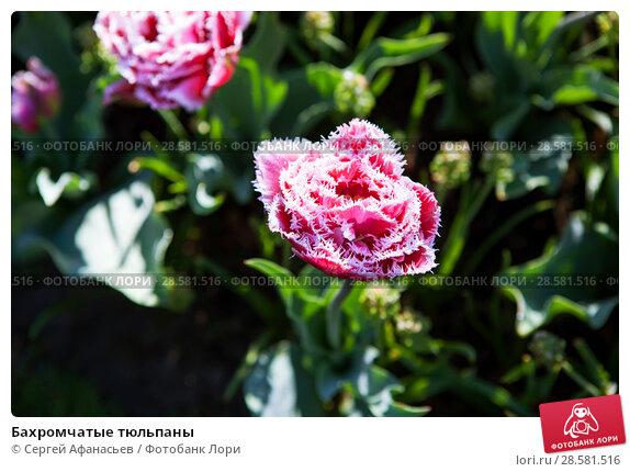 Купить «Бахромчатые тюльпаны», фото № 28581516, снято 4 мая 2018 г. (c) Сергей Афанасьев / Фотобанк Лори