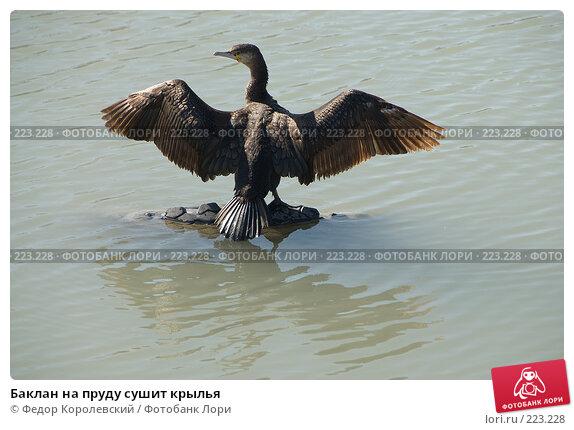Баклан на пруду сушит крылья, фото № 223228, снято 12 марта 2008 г. (c) Федор Королевский / Фотобанк Лори