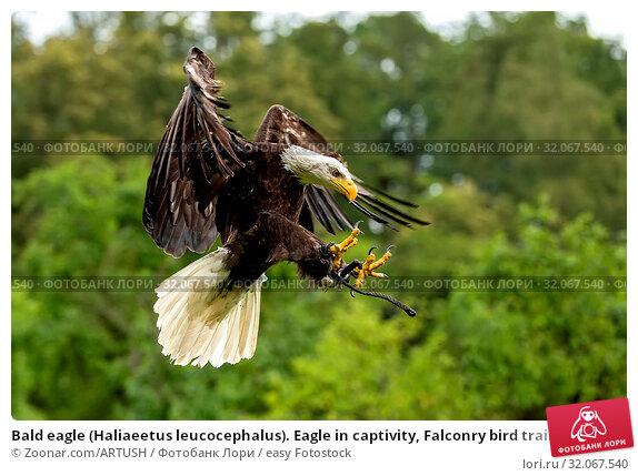 Bald eagle (Haliaeetus leucocephalus). Eagle in captivity, Falconry bird trained for hunting. Стоковое фото, фотограф Zoonar.com/ARTUSH / easy Fotostock / Фотобанк Лори
