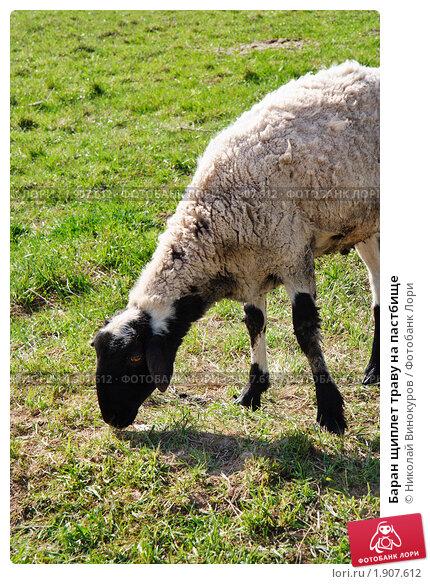 Купить «Баран щиплет траву на пастбище», фото № 1907612, снято 26 апреля 2008 г. (c) Николай Винокуров / Фотобанк Лори