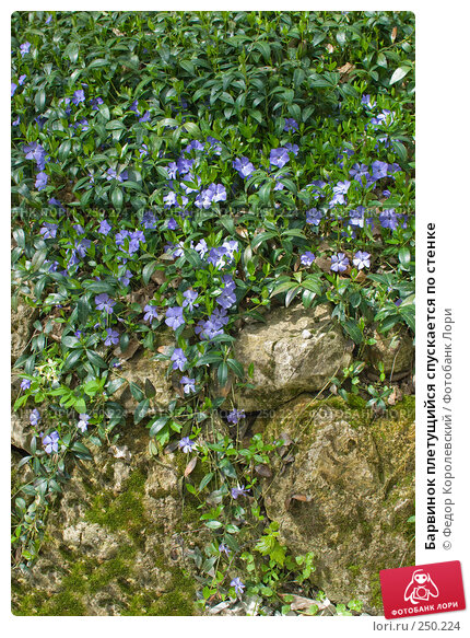 Барвинок плетущийся спускается по стенке, фото № 250224, снято 12 апреля 2008 г. (c) Федор Королевский / Фотобанк Лори