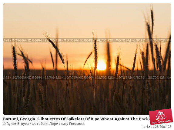 Купить «Batumi, Georgia. Silhouettes Of Spikelets Of Ripe Wheat Against The Background Of Scenic Country Summer Sunset With Warm Yellow Sky.», фото № 28700128, снято 6 июня 2016 г. (c) easy Fotostock / Фотобанк Лори