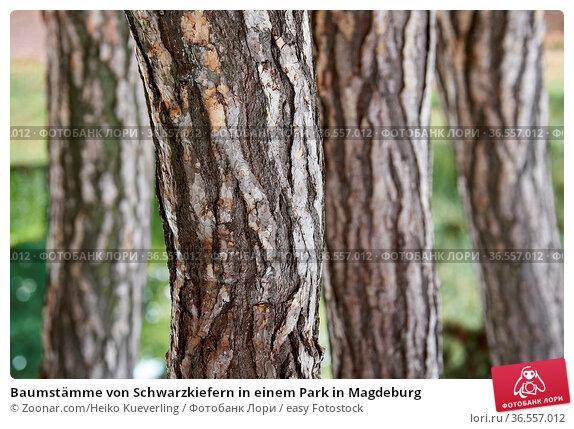 Baumstämme von Schwarzkiefern in einem Park in Magdeburg. Стоковое фото, фотограф Zoonar.com/Heiko Kueverling / easy Fotostock / Фотобанк Лори
