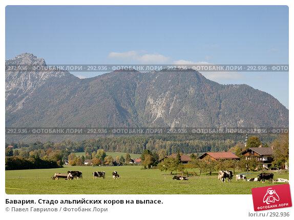Бавария. Стадо альпийских коров на выпасе., фото № 292936, снято 17 октября 2005 г. (c) Павел Гаврилов / Фотобанк Лори
