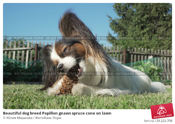 Купить «Beautiful dog breed Papillon gnaws spruce cone on lawn», фото № 29223708, снято 25 апреля 2019 г. (c) Юлия Машкова / Фотобанк Лори