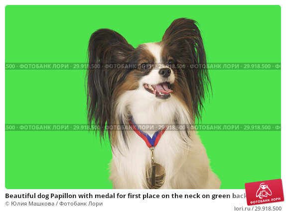 Купить «Beautiful dog Papillon with medal for first place on the neck on green background», фото № 29918500, снято 17 февраля 2019 г. (c) Юлия Машкова / Фотобанк Лори