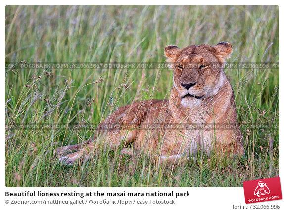 Beautiful lioness resting at the masai mara national park. Стоковое фото, фотограф Zoonar.com/matthieu gallet / easy Fotostock / Фотобанк Лори