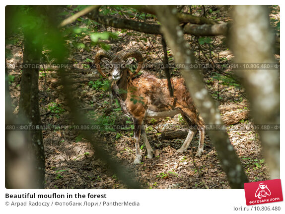 Купить «Beautiful mouflon in the forest», фото № 10806480, снято 25 апреля 2019 г. (c) PantherMedia / Фотобанк Лори