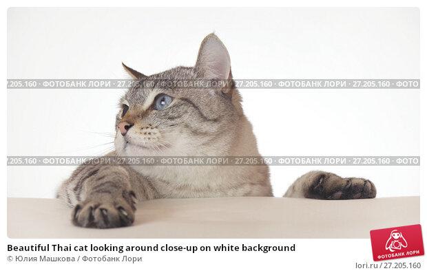 Купить «Beautiful Thai cat looking around close-up on white background», фото № 27205160, снято 13 декабря 2018 г. (c) Юлия Машкова / Фотобанк Лори