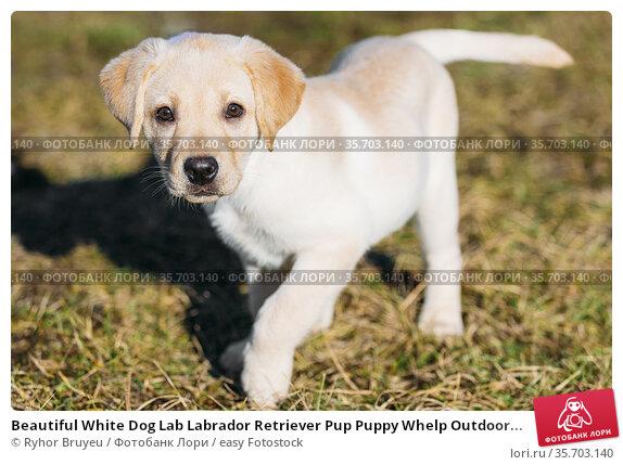 Beautiful White Dog Lab Labrador Retriever Pup Puppy Whelp Outdoor... Стоковое фото, фотограф Ryhor Bruyeu / easy Fotostock / Фотобанк Лори