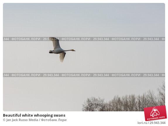Купить «Beautiful white whooping swans», фото № 29943344, снято 2 декабря 2018 г. (c) Jan Jack Russo Media / Фотобанк Лори