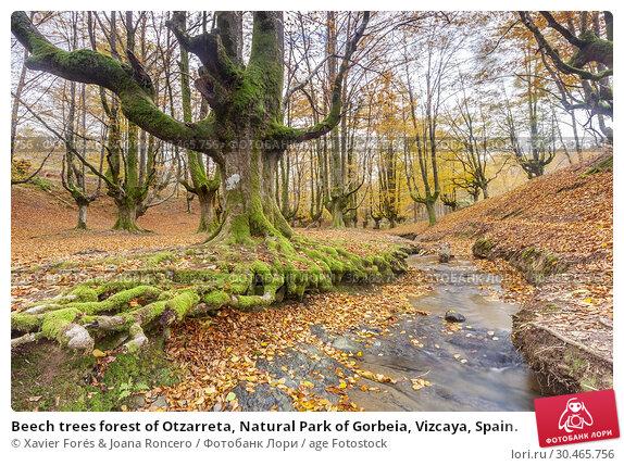 Beech trees forest of Otzarreta, Natural Park of Gorbeia, Vizcaya, Spain. Стоковое фото, фотограф Xavier Forés & Joana Roncero / age Fotostock / Фотобанк Лори