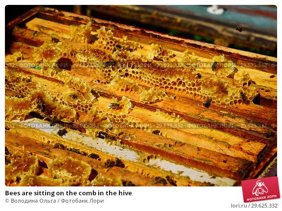 Купить «Bees are sitting on the comb in the hive», фото № 29625332, снято 7 августа 2017 г. (c) Володина Ольга / Фотобанк Лори