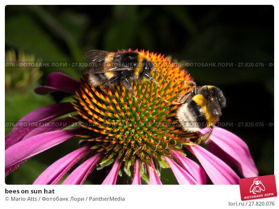 Купить «bees on sun hat», фото № 27820076, снято 20 октября 2018 г. (c) PantherMedia / Фотобанк Лори