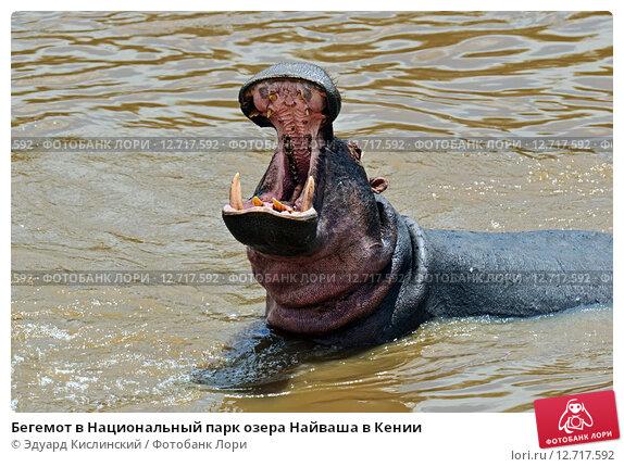 Купить «Бегемот в Национальный парк озера Найваша в Кении», фото № 12717592, снято 9 августа 2015 г. (c) Эдуард Кислинский / Фотобанк Лори