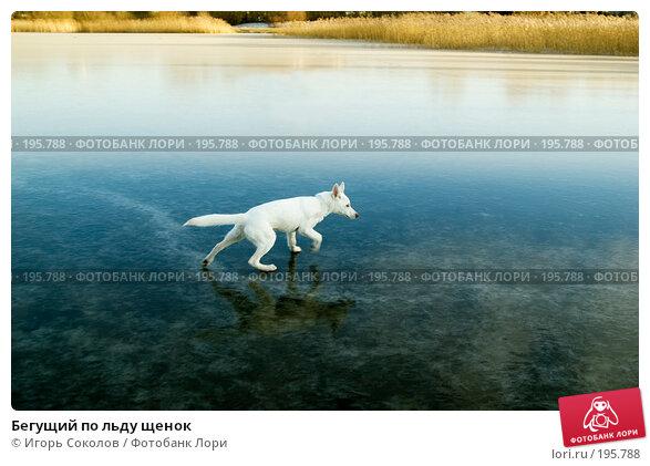 Бегущий по льду щенок, фото № 195788, снято 6 января 2008 г. (c) Игорь Соколов / Фотобанк Лори