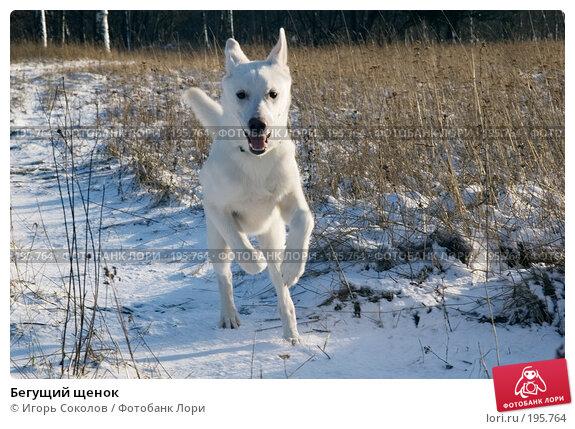 Бегущий щенок, фото № 195764, снято 3 февраля 2008 г. (c) Игорь Соколов / Фотобанк Лори
