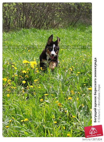 Бегущий щенок бернского зеннехунда, фото № 267824, снято 12 мая 2007 г. (c) Ольга С. / Фотобанк Лори