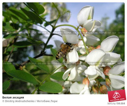 Белая акация, фото № 84664, снято 27 мая 2006 г. (c) Dmitriy Andrushchenko / Фотобанк Лори