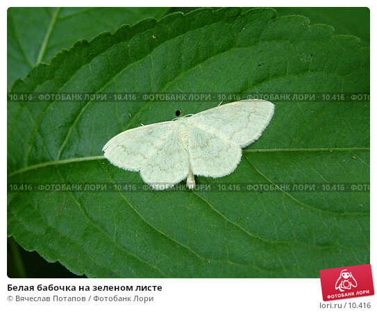 Белая бабочка на зеленом листе, фото № 10416, снято 5 июня 2005 г. (c) Вячеслав Потапов / Фотобанк Лори