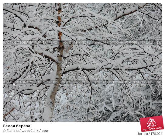 Купить «Белая береза», фото № 178024, снято 20 ноября 2017 г. (c) Галина Щеглова / Фотобанк Лори