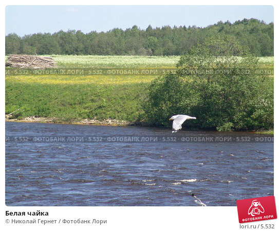 Белая чайка, фото № 5532, снято 12 июня 2005 г. (c) Николай Гернет / Фотобанк Лори