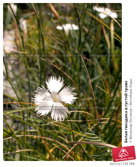 Белая гвоздика в густой траве, фото № 119184, снято 5 августа 2007 г. (c) Вячеслав Потапов / Фотобанк Лори