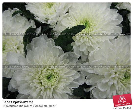 Белая хризантема, фото № 15416, снято 19 декабря 2006 г. (c) Комиссарова Ольга / Фотобанк Лори