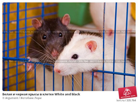 Белая и черная крысы в клетке White and black, фото № 335764, снято 11 июня 2008 г. (c) Argument / Фотобанк Лори