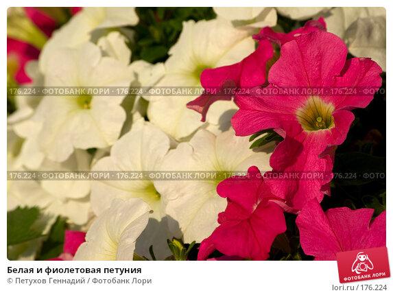 Белая и фиолетовая петуния, фото № 176224, снято 24 июля 2007 г. (c) Петухов Геннадий / Фотобанк Лори