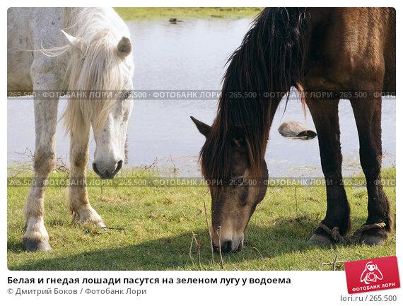 Белая и гнедая лошади пасутся на зеленом лугу у водоема, фото № 265500, снято 20 апреля 2008 г. (c) Дмитрий Боков / Фотобанк Лори