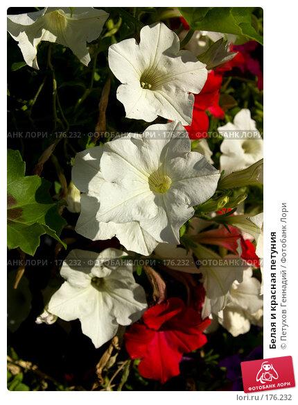 Белая и красная петуния, фото № 176232, снято 23 июня 2007 г. (c) Петухов Геннадий / Фотобанк Лори